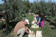 Voćari zabrinuti: Prekid otkupa bi uništio urod voća