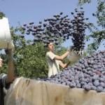 Rekordan rod šljive u Srbiji
