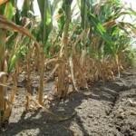 Na području opštine Novi Grad posljedice suše već vidljive