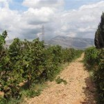 Simović: Potražnja za grožđem veća od ponude