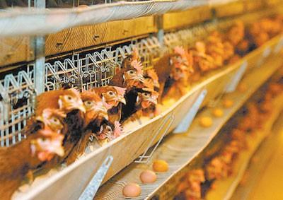 Milionska investicija u konzumna jaja za evropsko tržište