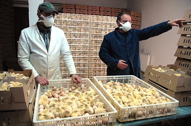 Prodali domaće piletine u vrijednosti 24 miliona KM!!!