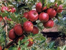 Neće Hrvati da beru jabuke