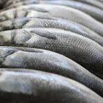 Bojić: Na evropskom tržištu dvije trećine proizvedene ribe