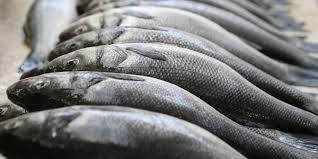 Veća proizvodnja konzumne ribe