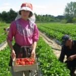 Iz Srbije u Moskvu dnevno ide 50 tona jagoda