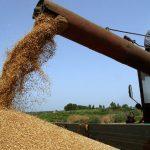Produktna berza: Pšenica oko 0,12 evra po kilogramu