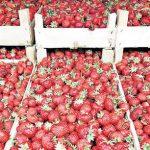 Proizvođači jagoda nezadovoljni otkupnom cijenom
