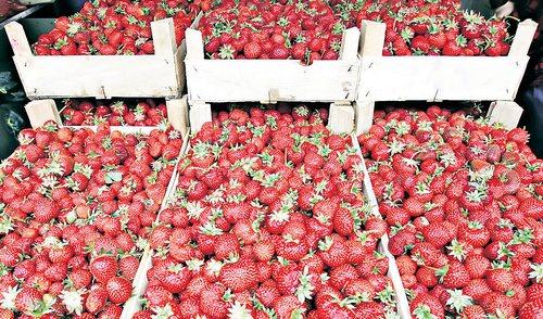 Zbog prodaje ilegalno proizvedenih sadnica ugrožena produkcija jagoda u BiH