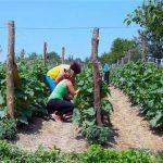 Kooperantima uručeno 145.000 sadnica krastavaca