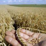 Počela predaja pšenice, cijena se očekuje naredne sedmice
