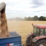 Žetva pšenice na šamačkom području u punom jeku