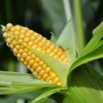 Kukuruz buja, biće dobar rod