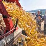 Berba kukuruza u Srbiji pri kraju, rekordni prinosi