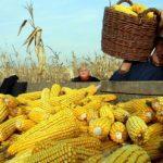 Ne postoji opasnost od povećanih koncentracija aflatoksina