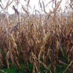 Nije završena berba kukuruza, kasni jesenja sjetva