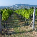 Ove godine u francuskim vinogradima najslabija berba