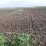 Makroogled kukuruza sa 80 hibrida