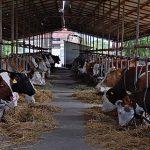 Republika Srpska ostaje bez 70 hiljada muznih krava