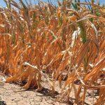 Šamac: Suša prepolovila rod kukuruza