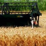 Proizvodnja pšenice veća za 25 odsto