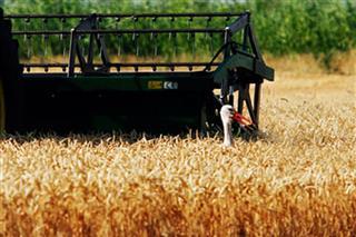 Bogosavljević Bošković: Prosječan rod pšenice, odličan kvalitet zrna