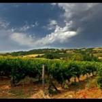 Veoma dobro stanje vinograda u Pomoravskom okrugu