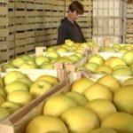 Očekuje se rekordan prinos voća