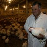 Izvoz piletine u EU bliži od izvoza jaja