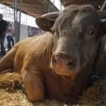 Cijena bikova od 4,5 KM po kilogramu