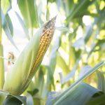 Ambari će biti prepuni kukuruza