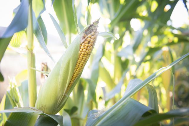 Kukuruz skuplji za dva odsto