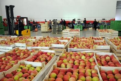 Sutra stupa na snagu zabrana izvoza jabuka u Rusiju