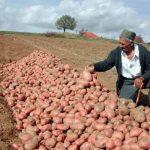 Domaći krompir na deponiji, uvozni na trpezi