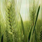 """Pšenica """"na zeleno"""" 0,14 evra"""