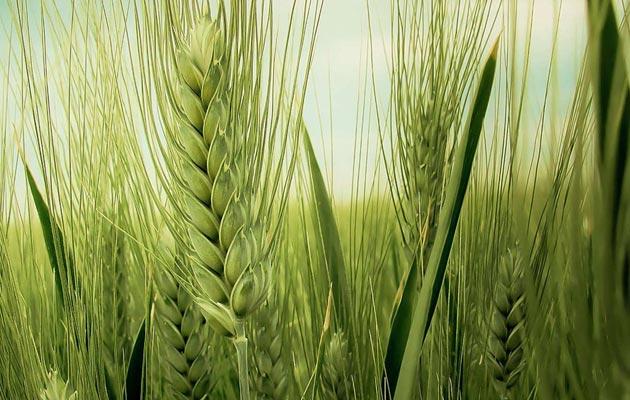 Podsticaj od 500 KM po hektaru merkantilne pšenice