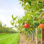 Trenutna temperatura ne bi trebalo da prouzrokuje štetu na voćnjacima