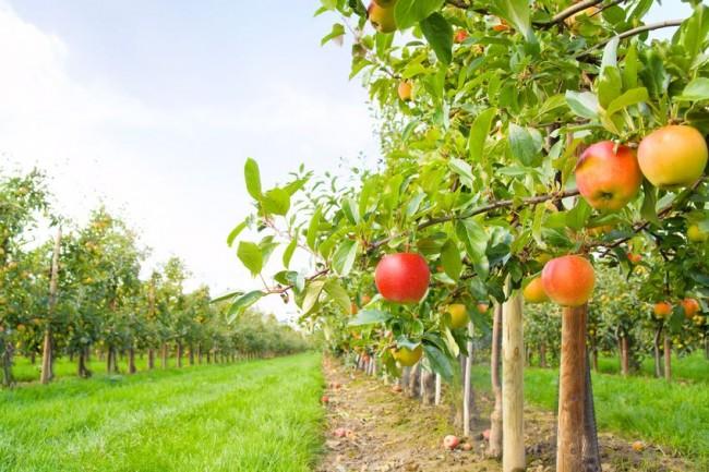 Počela berba voća, vidljive posljedice mraza
