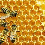 Izostalo vrcanje meda zbog hladnog proljeća