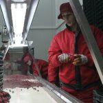 Proizvođači jagodičastog voća očekuju rekordne prihode