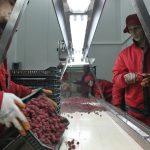 U padu izvoz maline, raditi na kvalitetu