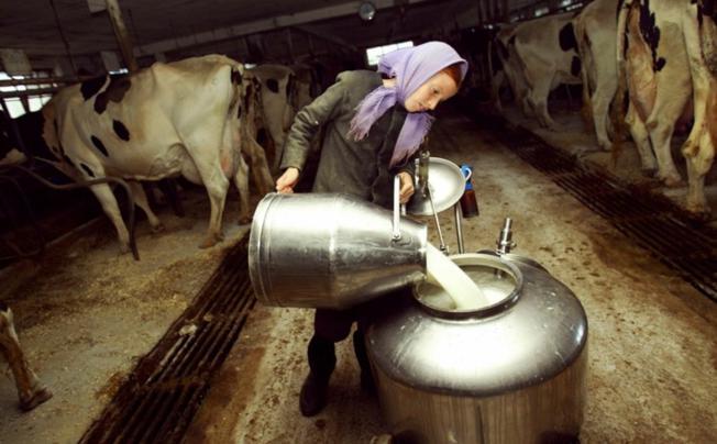 mužnja krava krave mlijeko------4 stupca colorekonomija