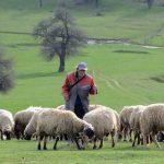 Makedonija: Stočarstvo ugroženo, za čuvanje ovaca plata 500 evra