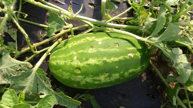 Grad uništio povrće u Lijevču, protivgradna nije djelovala