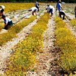 Proizvođači smilja u borbi za plasman na tržište: Cijena ne bi trebala biti niža od 2 KM po kilogramu