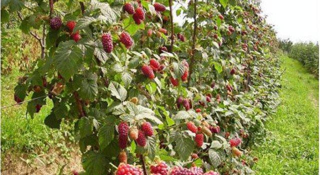 Još 50.000 besplatnih sadnica maline uzgajivačima