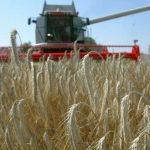 Očekuje se dobar prinos strnih žita