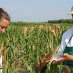Ove godine dobar rod kukuruza