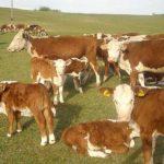 Zbog kvrgave kože povući odluku o uvozu goveda