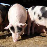 Više novca za uzgoj svinja, bez podrške izgradnji objekata
